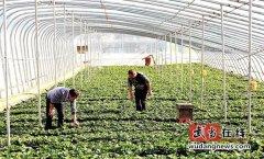 武当山特区太极湖办事处井沟村龟绿岛生态采摘园草莓长势喜人
