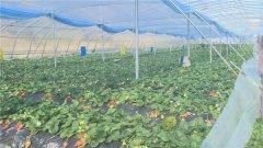武当山特区:疫期草莓销售难 驻村干部帮解困